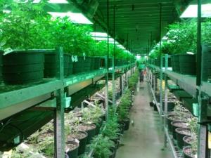 marijuana cannabis insurance California